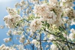Крона белых цветков крупного плана Blossoming дерева против сини Стоковое Фото