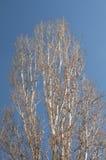 Крона большого дерева тополя Стоковое фото RF