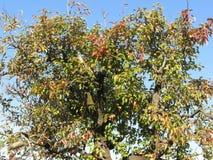 Крона грушевого дерев дерева с листьями осени против голубого неба цветы абстрактной осени яркие понижаются красный цвет картины  стоковое фото rf