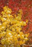 Крона дерева зеленой золы против дерева клена сахара Стоковые Изображения RF