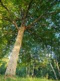 Крона дуба стоковое фото