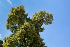 Крона дерева липы на ферме имущества на замке Schloss Hof, Австрии Стоковые Изображения RF