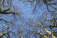 Крона деревьев в зиме стоковая фотография rf
