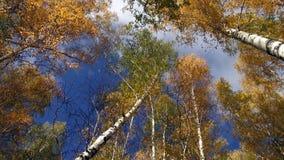 Крона деревьев осени на предпосылке голубого неба с белыми облаками сток-видео