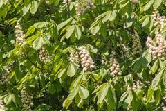 Крона обильно цветя каштана в предыдущей весне стоковая фотография rf