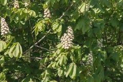 Крона обильно цветя каштана в предыдущей весне стоковые изображения rf