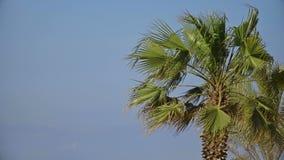 Крона пальмы двигая с ветром сток-видео