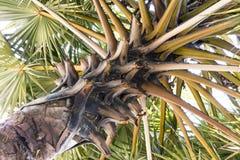 Крона тропической ладони Стоковые Фото