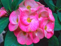 Крона цветков терниев Стоковое Изображение