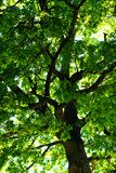 крона стоковая фотография rf