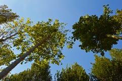 Кроны нескольких густолиственных деревьев Стоковая Фотография