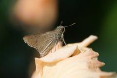Крошечная бабочка шкипера Sachem Стоковые Фото