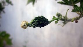 Крошечная горькая тыква без чем 2 дюйма в размере Стоковая Фотография RF