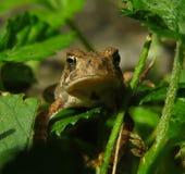 Крошечная жаба Стоковое Изображение RF