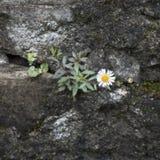 Крошечная маргаритка растя на каменной стене Стоковые Изображения