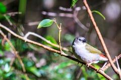 Крошечная птица. Ювенильный Красно-Browed зяблик Стоковое Изображение RF