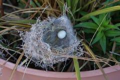 Крошечное голубое яичко птицы в гнезде Стоковое Изображение