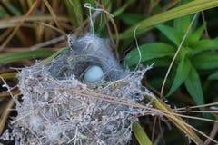 Крошечное голубое яичко птицы в гнезде Стоковые Изображения RF