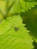 Крошечное насекомое сверчка младенца на лист - Phaneroptera, Katydid Стоковая Фотография RF