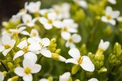 Белые цветки на предпосылке зеленых листьев Крошечные белые цветки весной стоковые изображения