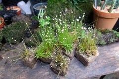 Крошечные белые цветки на каменных баках в саде стоковое изображение