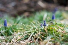 Крошечные голубые бутоны виноградного гиацинта стоковое фото rf