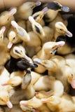 Крошечные маленькие желтые гусыни утят Стоковые Фотографии RF