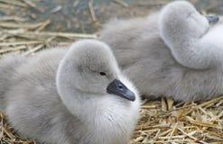 Крошечные молодые лебеди безгласного лебедя отдыхая в их гнезде стоковая фотография rf