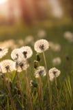 Крошечные одуванчики весны купая в солнце стоковые фотографии rf