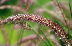Крошечные maroon цветки луга Стоковые Изображения