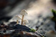 Крошечные toadstools грибов и зеленая трава Стоковая Фотография RF