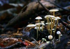 Крошечные toadstools грибов и зеленая трава Стоковые Фото