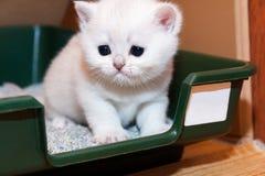 Крошечный белый великобританский котенок сидя в подносе с сором кота стоковое фото