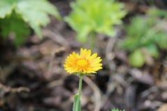 Крошечный желтый цветок с запачканной предпосылкой Стоковые Фотографии RF
