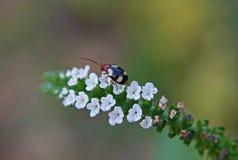 Крошечный жук на индийских цветках Heliotrope стоковая фотография