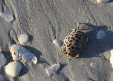 Крошечный запятнанный краб среди раковин моря Sanibel стоковое изображение rf