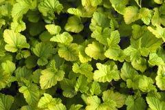Крошечный зеленый цвет выходит предпосылка. Стоковое Изображение