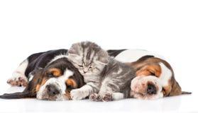 Крошечный котенок лежа на гончей выхода пластов щенят Изолировано на белизне Стоковое Изображение RF
