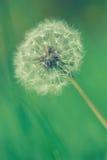 Крошечный одуванчик весны Стоковая Фотография