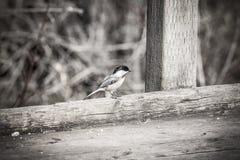 Крошечный пуховый woodpecker сидя на деревенском деревянном променаде с tw Стоковые Фото