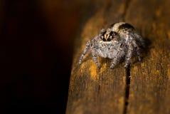 Крошечный скача паук сфотографированный в Аргентине Стоковое Фото