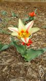 Крошечный тюльпан Стоковое Фото