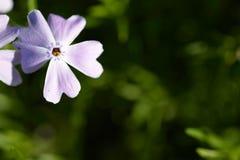 Крошечный фиолетовый цветок в свете утра стоковая фотография rf