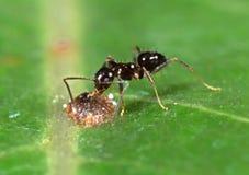 Крошечный черный муравей сада с насекомым масштаба на зеленых лист стоковая фотография