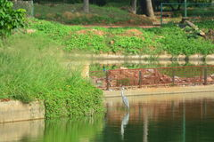 Крошечный Kingfisher и цапля Стоковая Фотография
