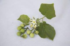 Крошечный Solanum Стоковые Фото
