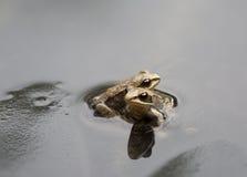 2 крошечных жабы Стоковая Фотография
