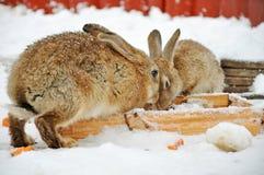 2 кролика в снеге Стоковое Фото