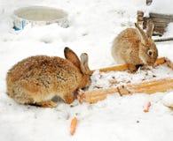 2 кролика в снеге Стоковые Фото