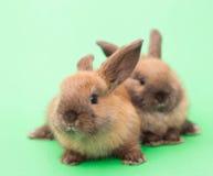 2 кролика на зеленом цвете. Стоковая Фотография RF